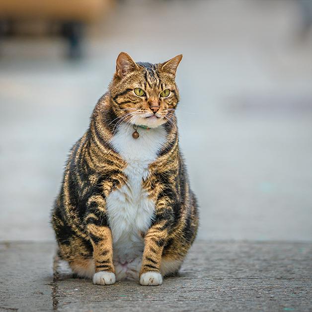 Gatos con sobrepeso: causas, consecuencias y cómo evitarlo